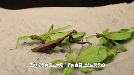 """母螳螂为什么""""吃夫""""?原来不是为了后代,科学家给出解释"""