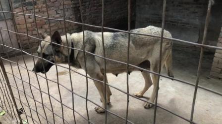 中华神犬狼青犬,纯正的国产品种,品质不输德牧可一直卖不上价钱