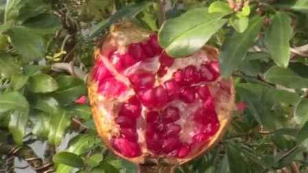 """水果界""""雅诗兰黛""""!可以喝着吃的突尼斯软籽石榴,不用吐籽"""