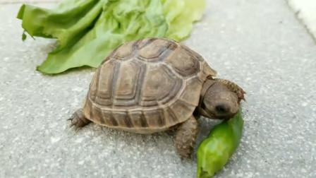 辣到失控!主人挑逗乌龟吃辣椒,乌龟吃完反应笑死人了!