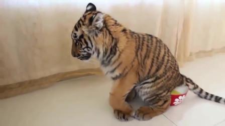 这只小老虎太可爱了,还能够生活自理,为主人