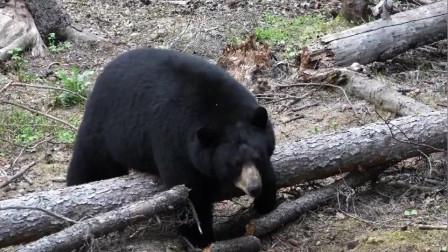 """这种狩猎方式第一次见,猎人站在树上,用一根""""棍子""""狩猎黑熊"""