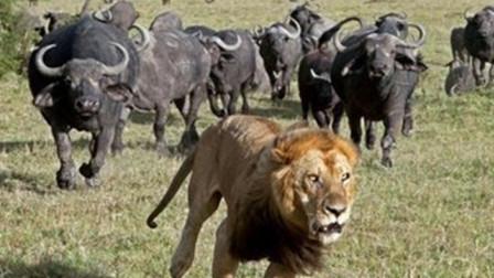 一只狮子被水牛赶上树,有一只雄狮赶到帮忙,二对一水牛危险!