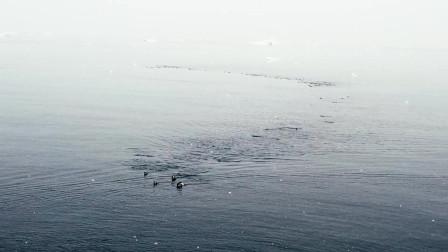 NHCC逛世界-大群企鹅游泳