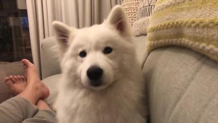 萨摩耶想吃狗粮疯狂暗示,主人以为要喝水