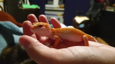 大家喜欢养蜥蜴吗,这种蜥蜴长的好看,也很容易饲养