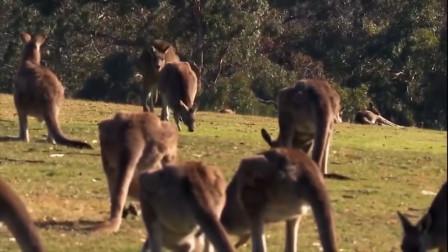 """澳洲袋鼠成功在新西兰""""泛滥"""",又多一个国家,对袋鼠进行围剿"""