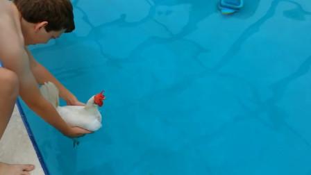 鸡能像鸭子一样游泳么?老外将鸡放进水里,结果会怎样呢?
