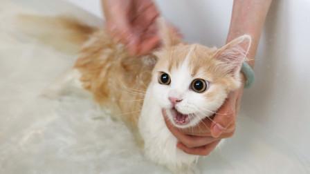 短腿小猫初次洗澡,发出猪叫求救,几分钟后开始享受泡澡!舒爽!
