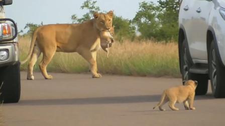 母狮叼着小女儿走,小狮子生气,倒地撒娇,母狮的做法太赞
