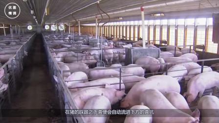 为什么美国是全球养猪大国?看他们如何处理猪