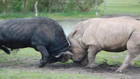 真是牛脾气,水牛大战犀牛反把犀牛顶伤,镜头
