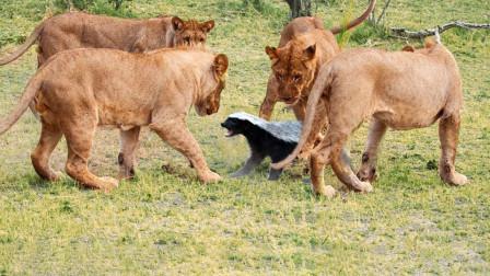 活久见!平头哥竟敢主动挑衅狮群,结果都在预料之中