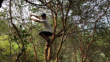 又到采摘茶籽的季节了农村小伙爬到茶树上扒开一看乐坏了