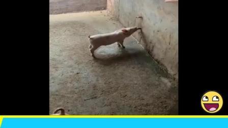 一口汤一口饭,这只猪学会了养生~