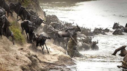 """超过100万头角马冒生命危险,横跨500公里""""逛吃""""肯尼亚?"""