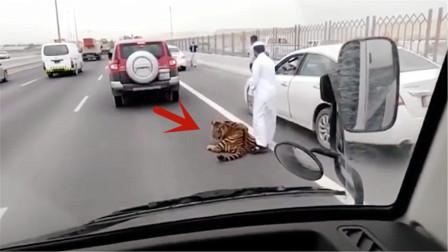老虎突然出现在高速路,趴着不肯走引发堵车,镜头记录全过程
