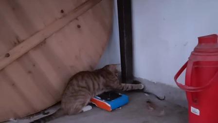 猫找老公,遇到老鼠;老鼠爱上猫、想调戏猫,反被猫调戏,调戏的时候,最后冒出一只癞蛤蟆