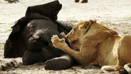 狮子捕食小象,结果遭到大象妈妈疯狂报复,镜头拍下全过程