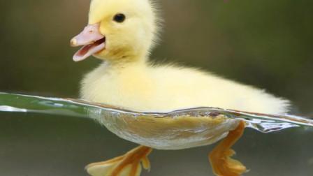 小鸭子学游泳,表面看似优雅脚下忙个不停,网友:戳中笑点!