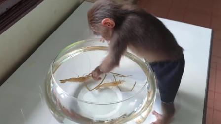 主人买虾逗小猴子,画面太滑稽,太低估小猴子的智商了!