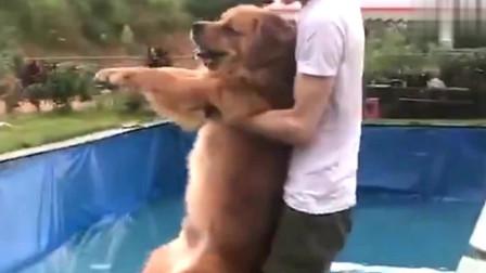 萌宠:金毛不愿意游泳,主人这么强硬,瞧把狗给吓得脸都抽了