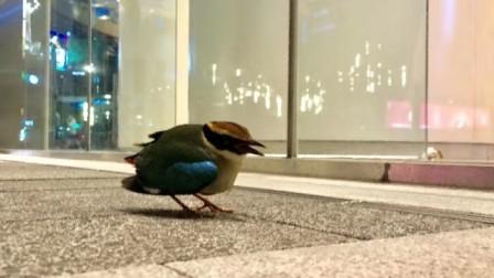 """""""高颜值""""小鸟惊现广州街头,原是国家二级保护动物"""