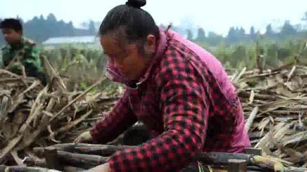川味2:4000年前人们发现甘蔗,通过智慧种植,成为甜味主流。
