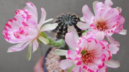 这种仙人球,开得花像荷花一样美,秋天用点肥长爆盆!