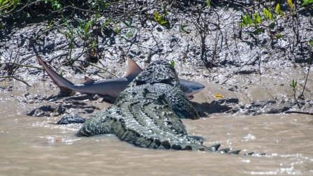 难得一见!6米巨鳄大战鲨鱼 场面激烈