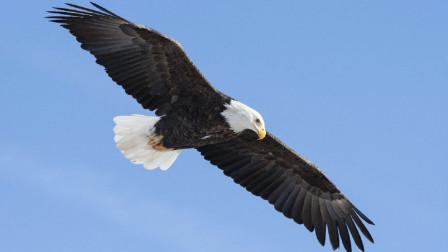 美国国鸟是白头雕,韩国国鸟是鹊,中国的国鸟却没有人知道?