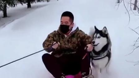 说好的养狗千日用狗一时呢,这雪橇犬是假的吧,你们都别笑