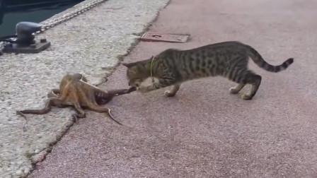 猫咪遇见一只章鱼,上去就是一口, 接下来神奇的事发生了!