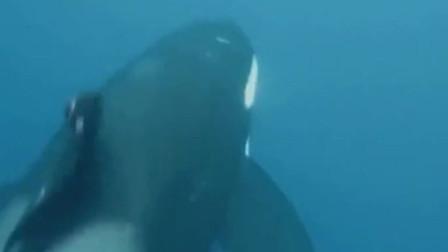 大白鲨也有倒霉的时候 虎鲸捕猎时真的好聪明