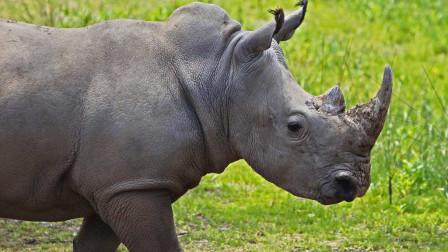 大象和犀牛狭路相逢,这两个陆地巨兽谁会认怂呢