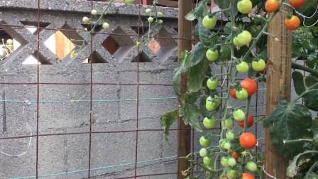 圣女果和大番茄中很是不同?生吃还是熟吃?那个更有营养?