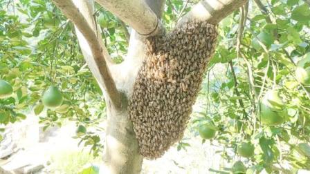 野生蜜蜂怎样收回来家里养?看看大爷这操作,没点技术还真不行