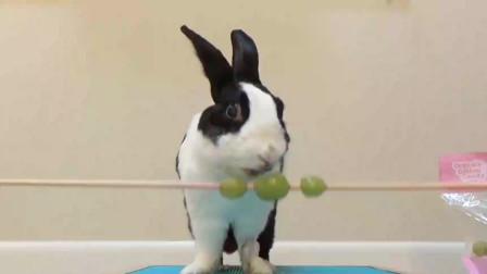 兔子先生的棉花糖葡萄吃播,吧唧吧唧嘴的动作好可爱