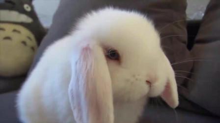 小白兔在沙发上蹦蹦跳跳,仿佛在躲避主人的摄像头