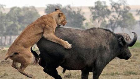 水牛被狮子压倒在地本以为必死无疑结果狮群落荒而逃
