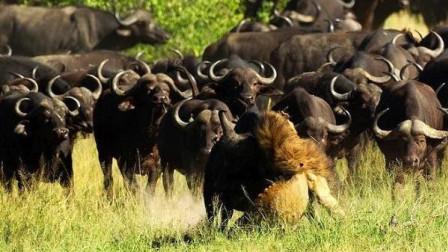 水牛别追了,给雄狮一点面子好不
