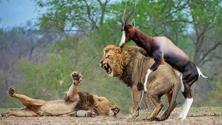 黑斑羚羊被狮子追杀,却遭到羚羊强势反击,狮子:这是什么操作?