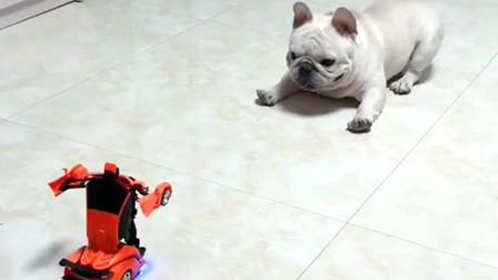 """斗牛犬对战变形金刚,这么大的狗被个汽车人给""""吓坏""""了"""