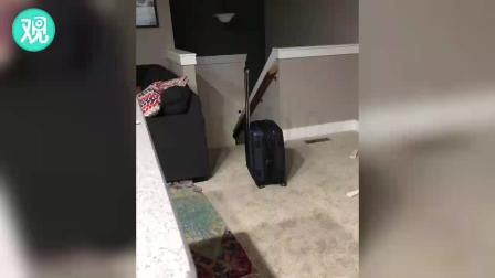 当狗狗看到主人拿出旅行箱......
