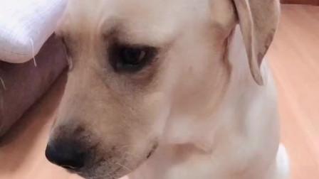 主人让拉布拉多选择剪哪根电线狗狗一脸茫然最后的反应好搞笑