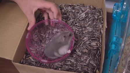 主人将仓鼠放进一箱葵花籽中,仓鼠彻底放飞自我,真香