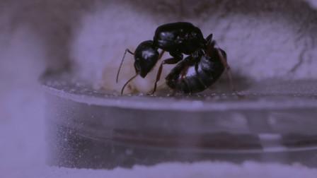 """假如""""蚁后""""死了,剩下的蚂蚁会怎么样?看完涨知识"""