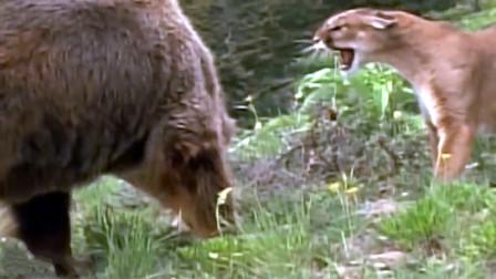 霸气!美洲狮大战棕熊,抱脖锁喉死咬一气呵成,全程真是精彩