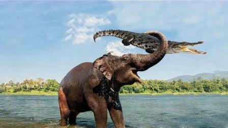 实拍鳄鱼咬住大象鼻子,大象直接发飙,镜头记录全过程!