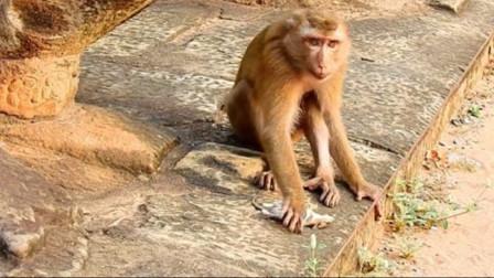 老鼠被猴子抓住,没想到比被猫抓住还惨,日常怀疑鼠生